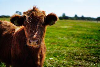 Ein Viehtransport wird zum Befreier der Tiere